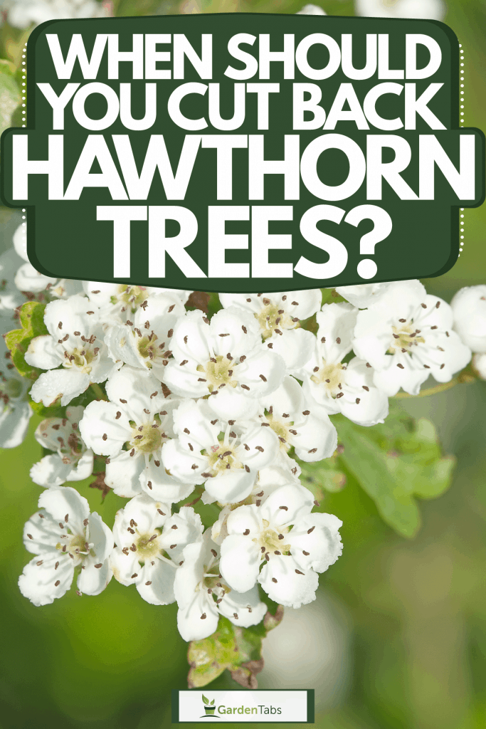 A perfectly detailed Hawthorn blossom photographed on the garden, When Should You Cut Back Hawthorn Trees?