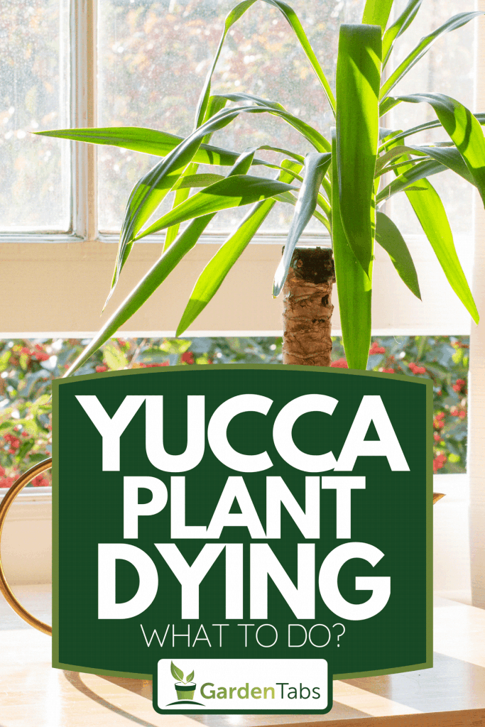 Yucca indoor plant next to a watering can by the windowsill, Yucca Plant Dying - What To Do?