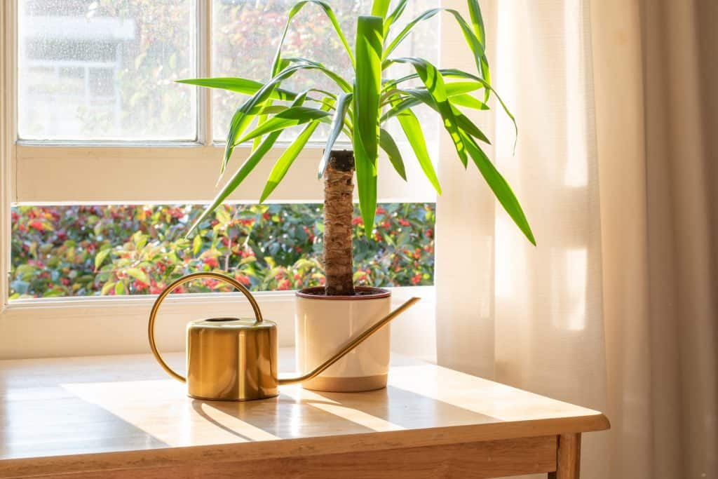 Yucca indoor plant next to a watering can in the windowsill in a beautifully designed home interior.