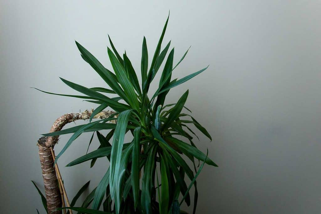 Yucca plant indoors in shady room
