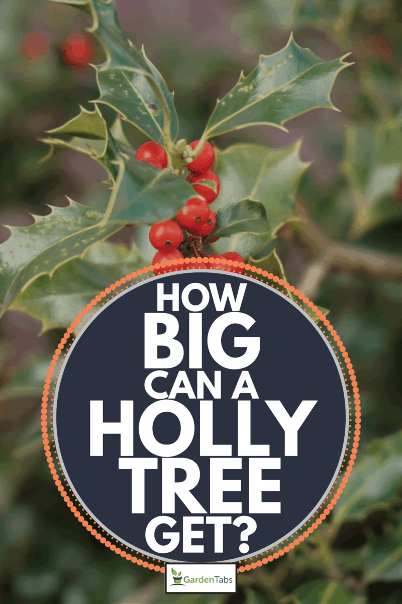 exotic red berries on the branch of a tree in a garden. How Big Can A Holly Tree Get