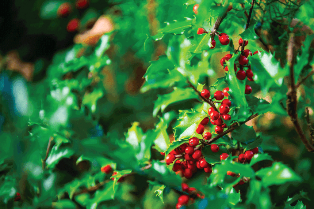 red holly branch teeming with red fruits. How Big Can A Holly Tree Get