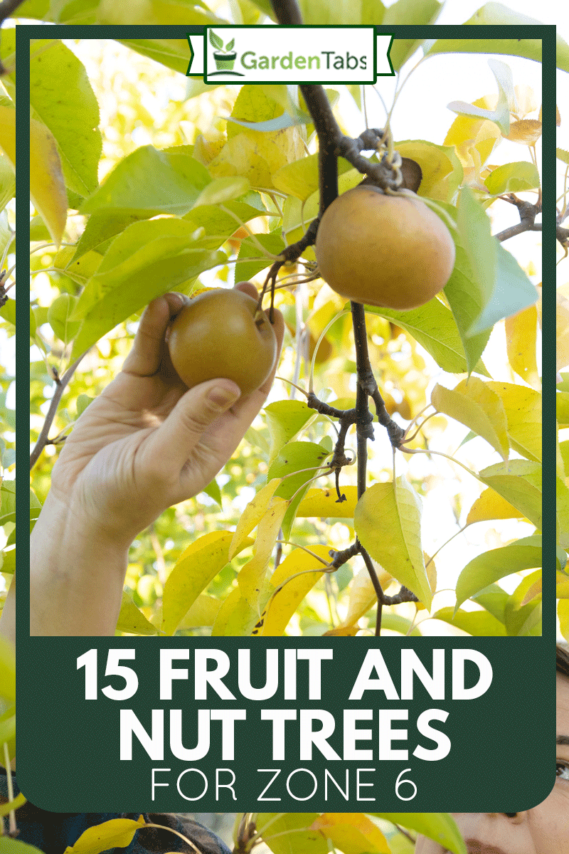 A non binary person of mixed race ethnicity in her 30s reaches to pick a bosc pear from a tree outdoors on a sunny weekend day at Stone Ridge Orchard, 15 Fruit And Nut Trees For Zone 6