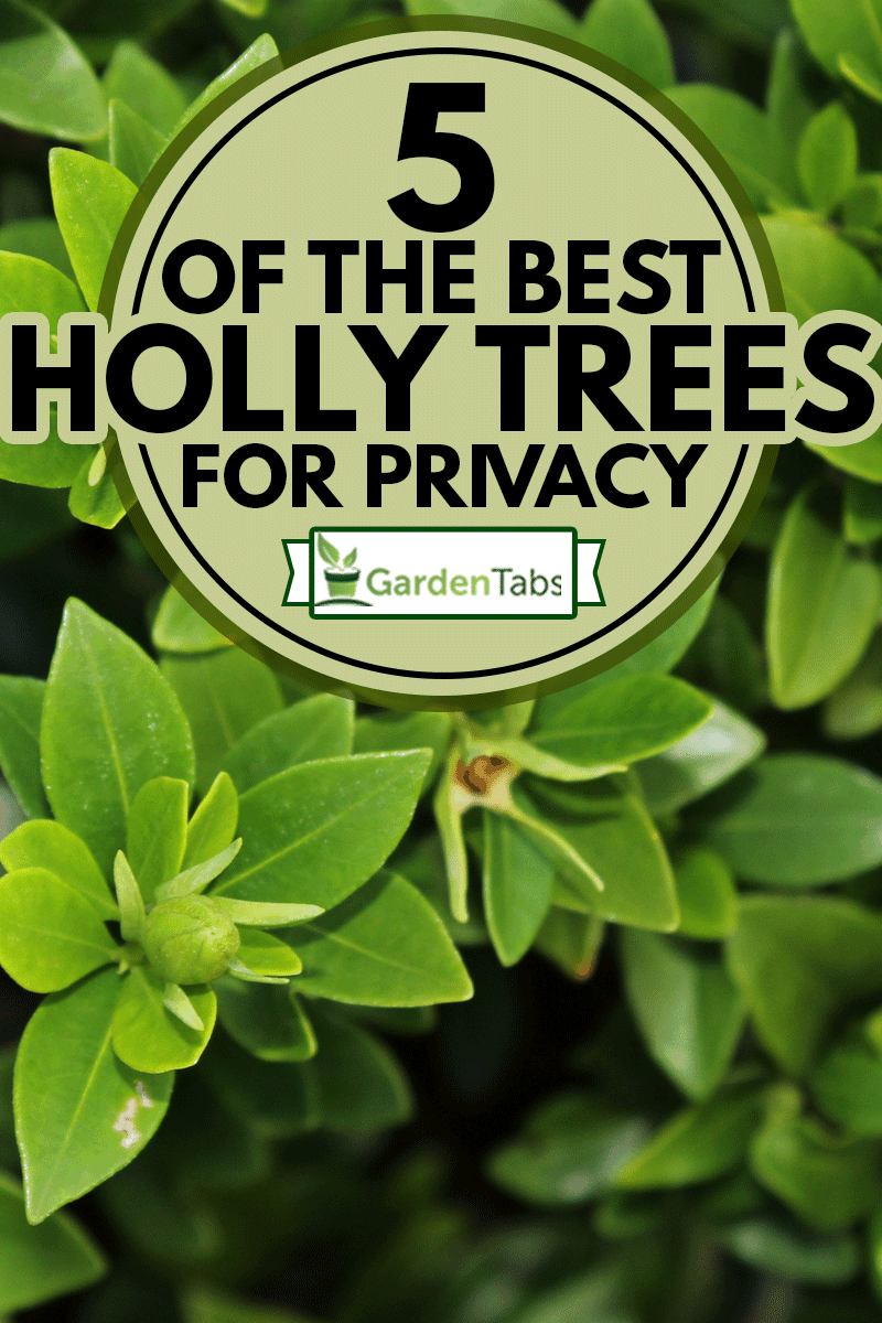 A potted Nellie R. Stevens Holly, 5 Of The Best Holly Trees For Privacy