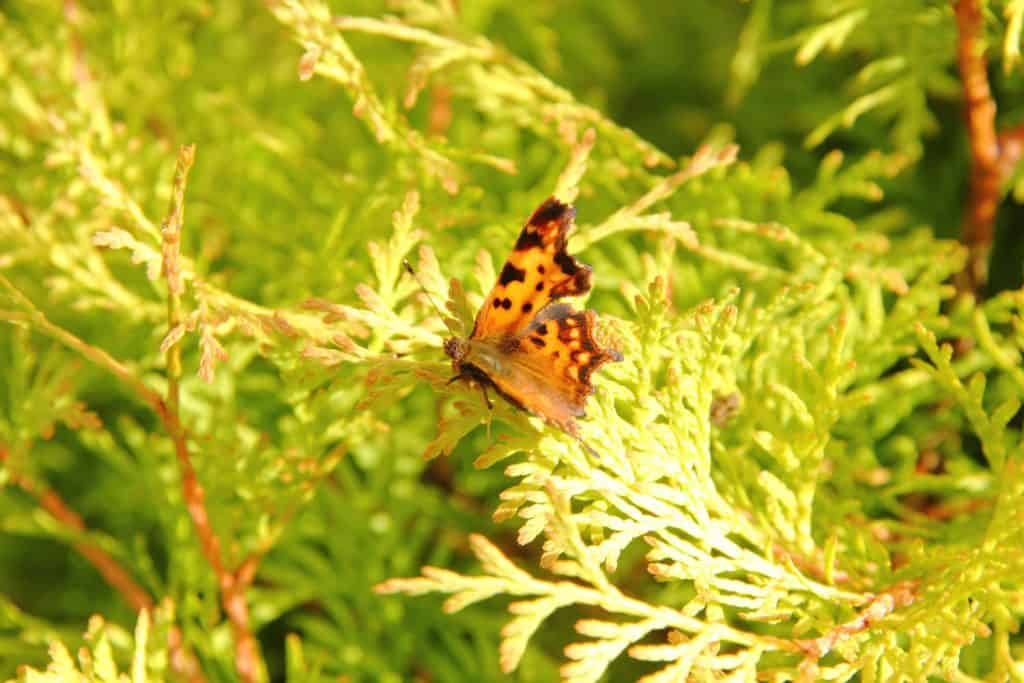 A beautiful butterfly lying on the leaf of an arborvitae