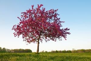 Read more about the article Can You Grow Crabapple Trees In Pots? [And How To!]