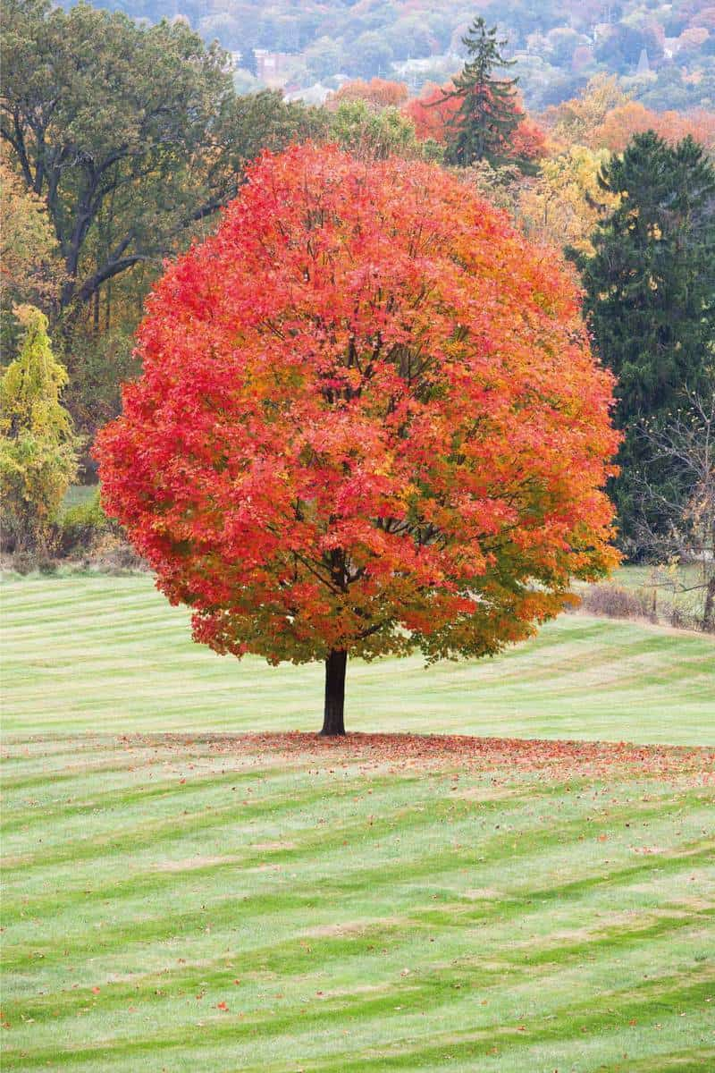 A beautiful sugar maple with peak fall colors.