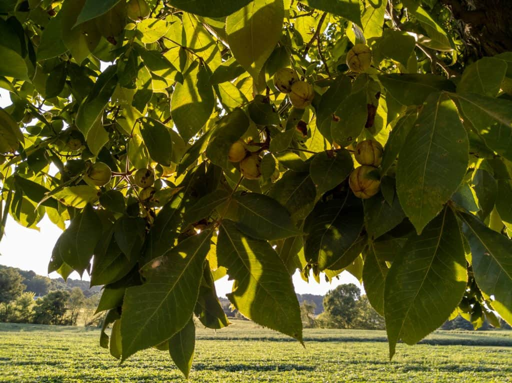 A branch on a shagbark hickory tree with nuts and leaves and the late afternoon sun behind them