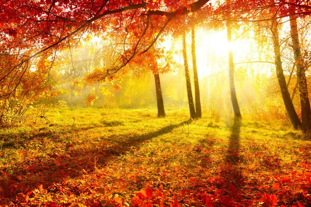 A gorgeous plain with tall maple trees with leaves on the floor