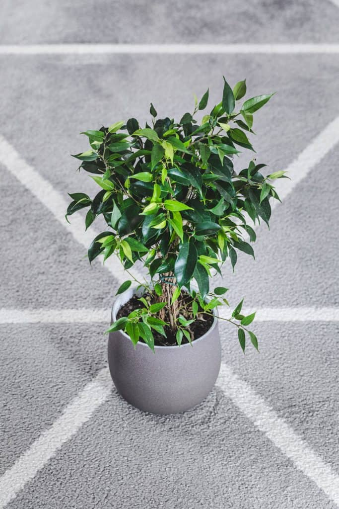 A gorgeous weeping fig tree planted on a gray round pot