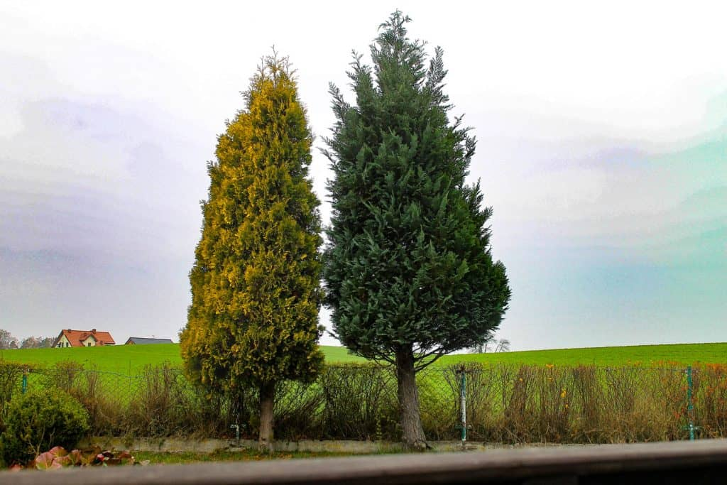 A huge arborvitae tree photographed on the side of the road