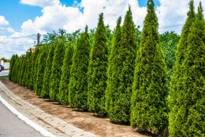Read more about the article How Big Do Arborvitae Get? [By Type Of Arborvitae]
