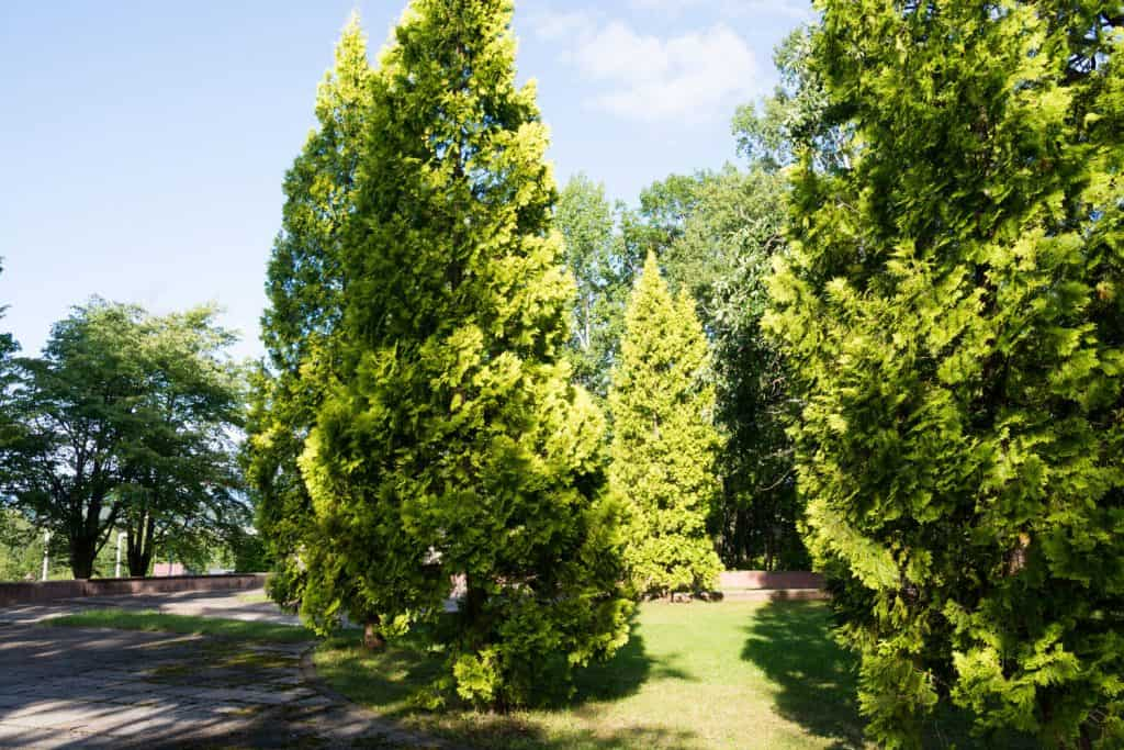 A huge untrimmed arborvitae shrub photographed on a park