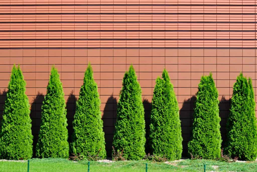 A long row fo arborvitae trees planted on the side of a wall