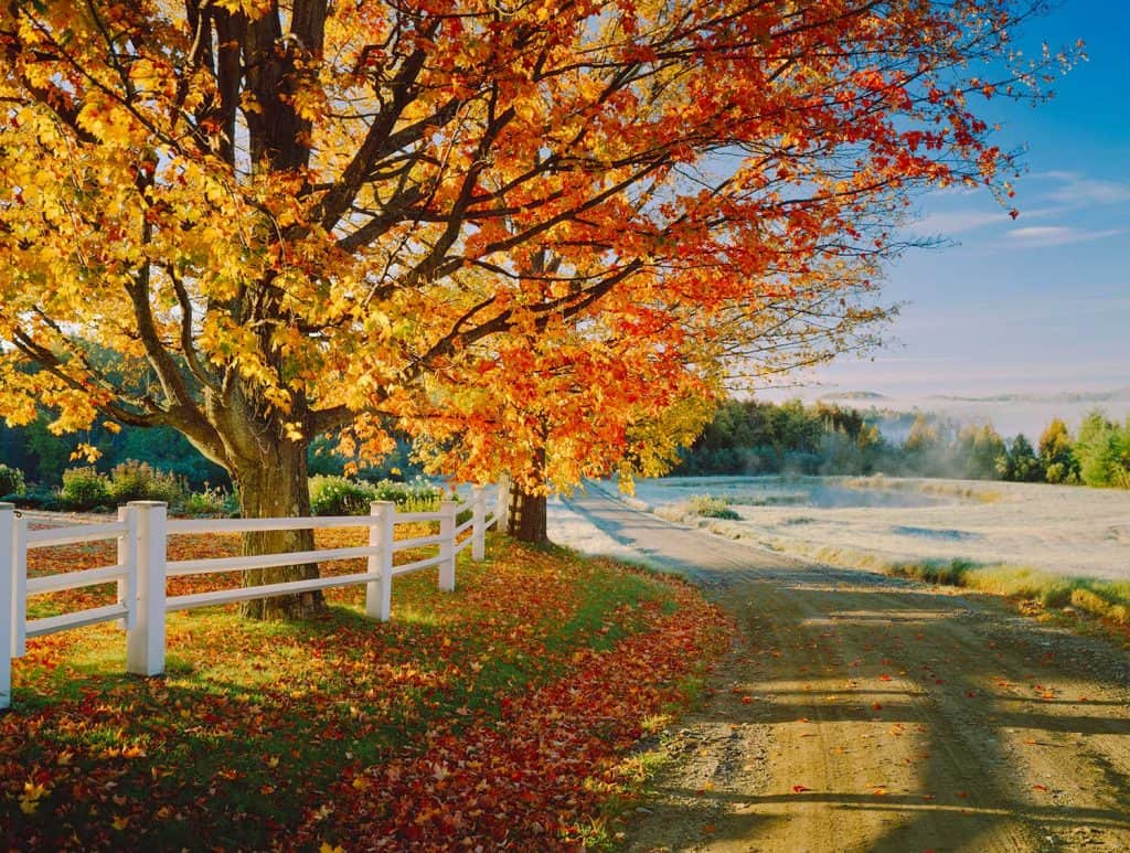 Maple tree in a lovely autumn foliage on a dirt road