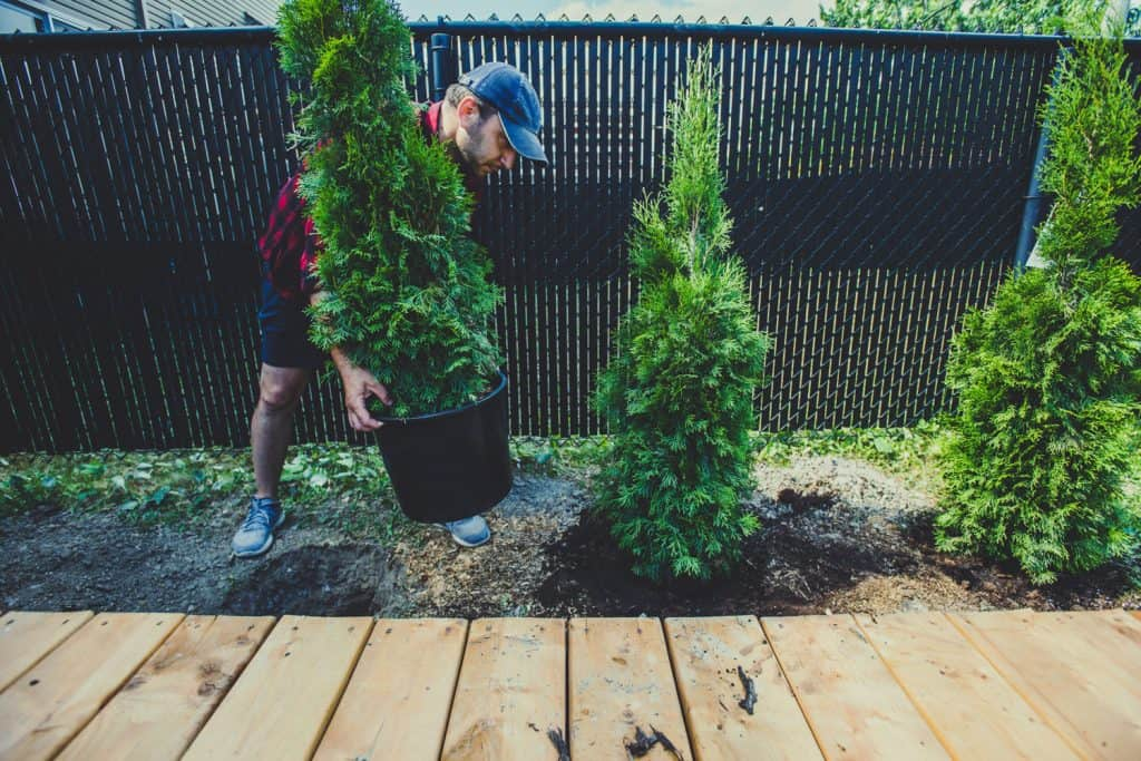 A man moving a small arborvitae tree on his backyard