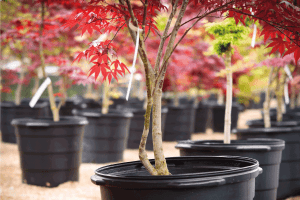 Read more about the article Do Japanese Maple Trees Lose Their Leaves?