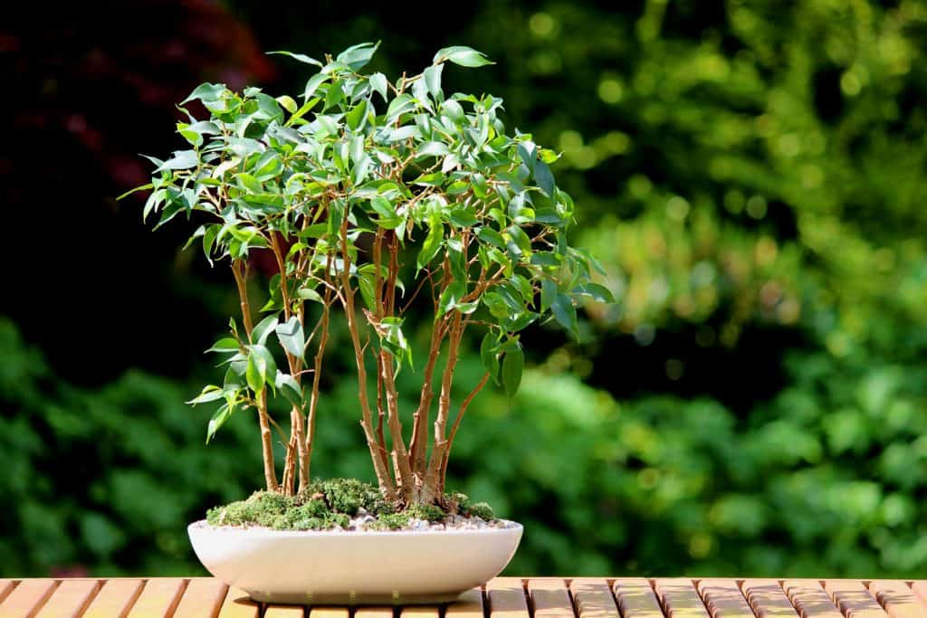A small bonsai weeping fig tree on a shallow pot decorated with moss