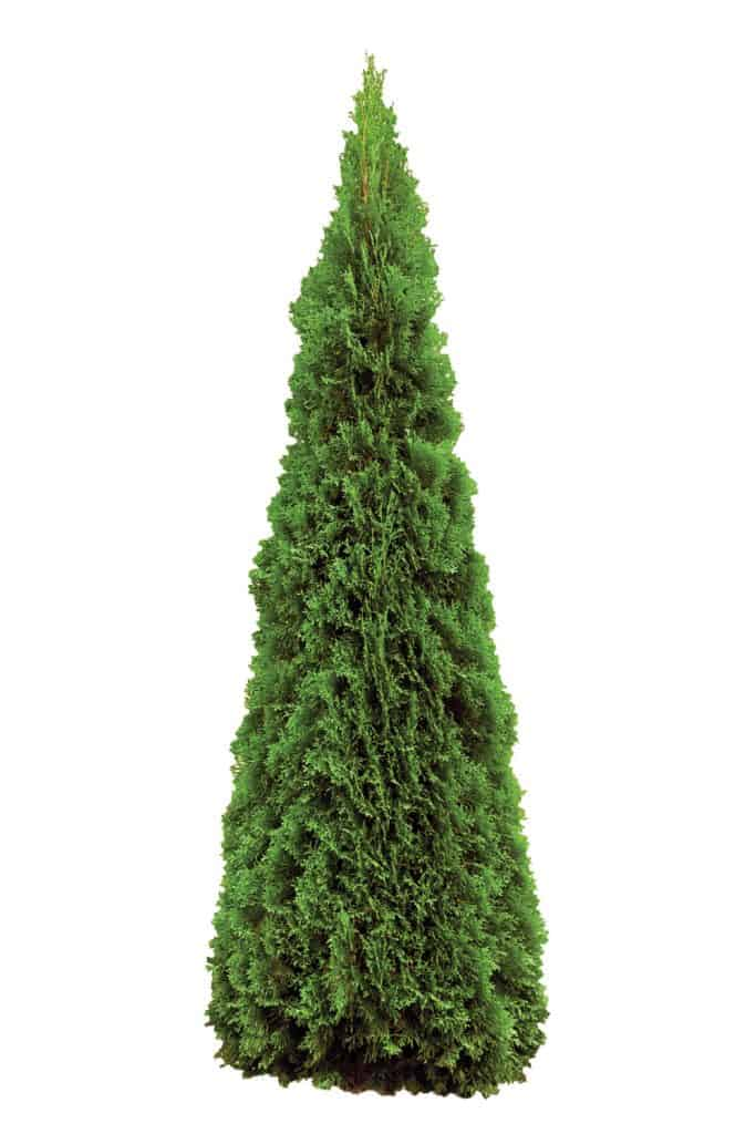 A tall arborvitae plant on a white background