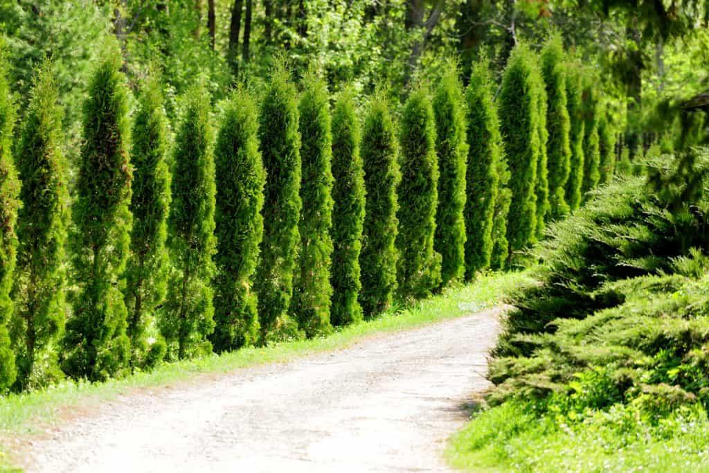 A long line of arborvitae plants along a dirt road