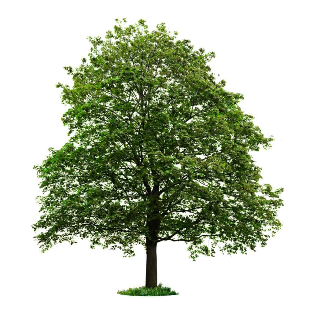 A tall maple tree photographed on a white background