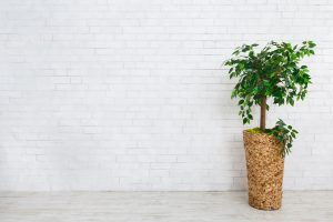 Read more about the article How Big Does A Weeping Fig Grow? How Fast?