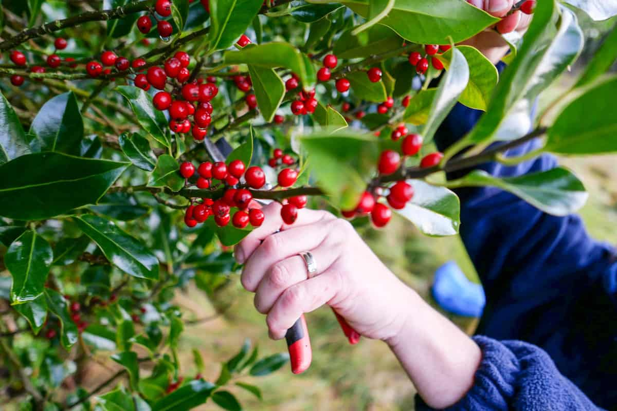 A woman trimming the branches of the Holly tree