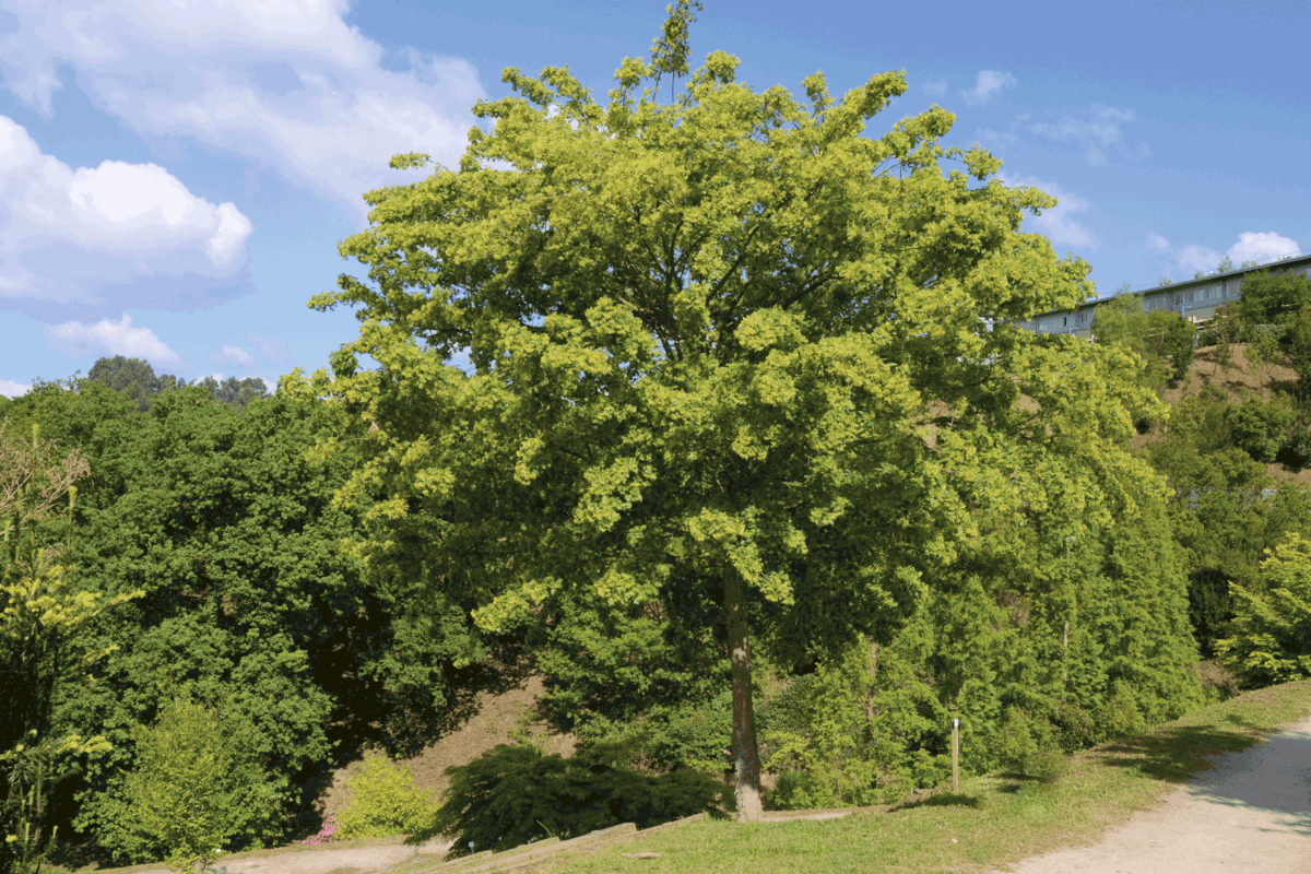Acer buergerianum standing on the side of a dirt road
