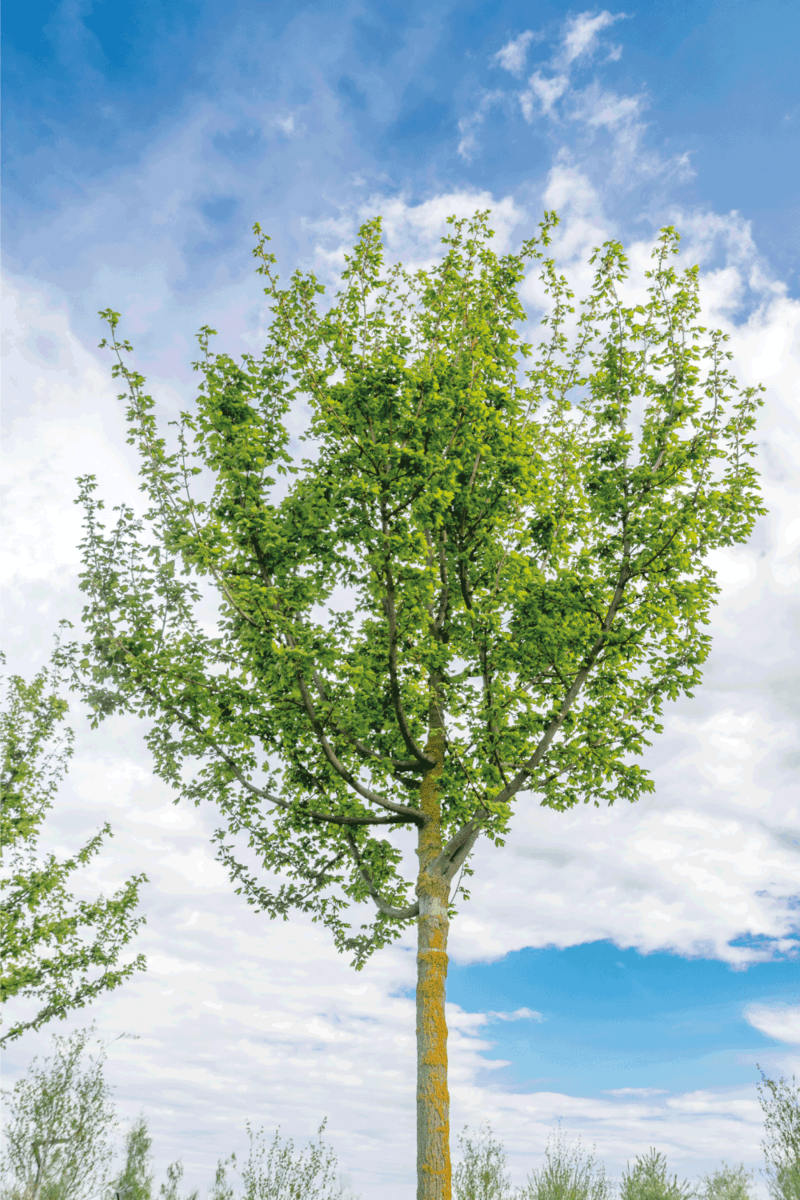 Acer campestre, known as the field maple standing on an open field