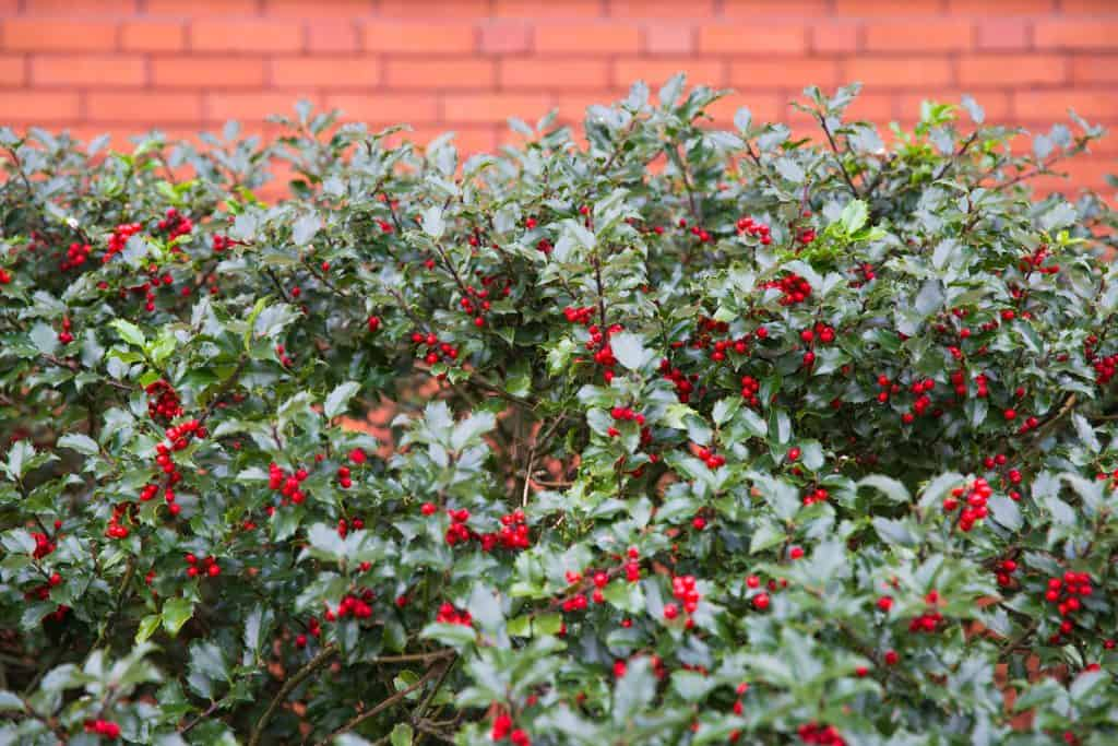 An Ilex aquifolium with lots of red berries growing on the side of a building