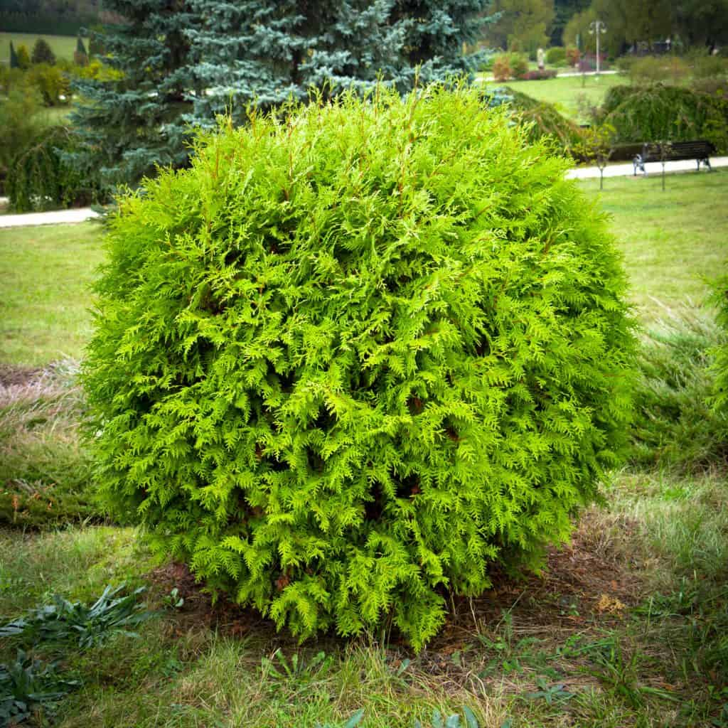 An untrimmed shrub planted on a slopping hill