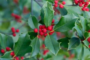 Read more about the article How To Grow Holly From Cuttings [Holly Propagation Guide]