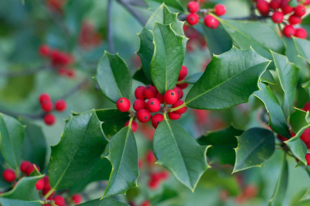 An up close photo of a Holly tree and its berries