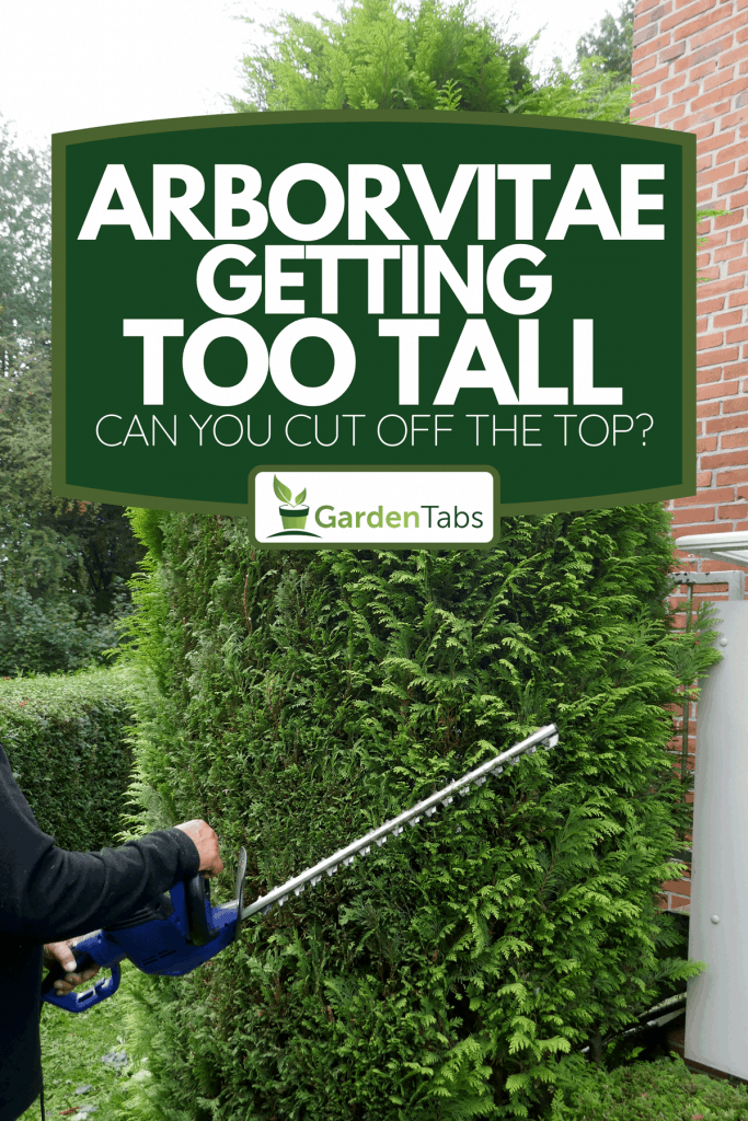 Professional hedges cutting with gasoline telescopic hedge trimmer, Arborvitae Getting Too Tall - Can You Cut Off The Top?