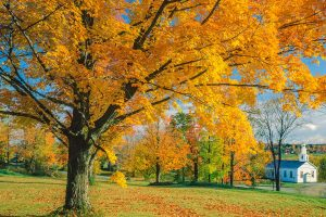 Read more about the article Do Sugar Maple Trees Have Invasive Roots?