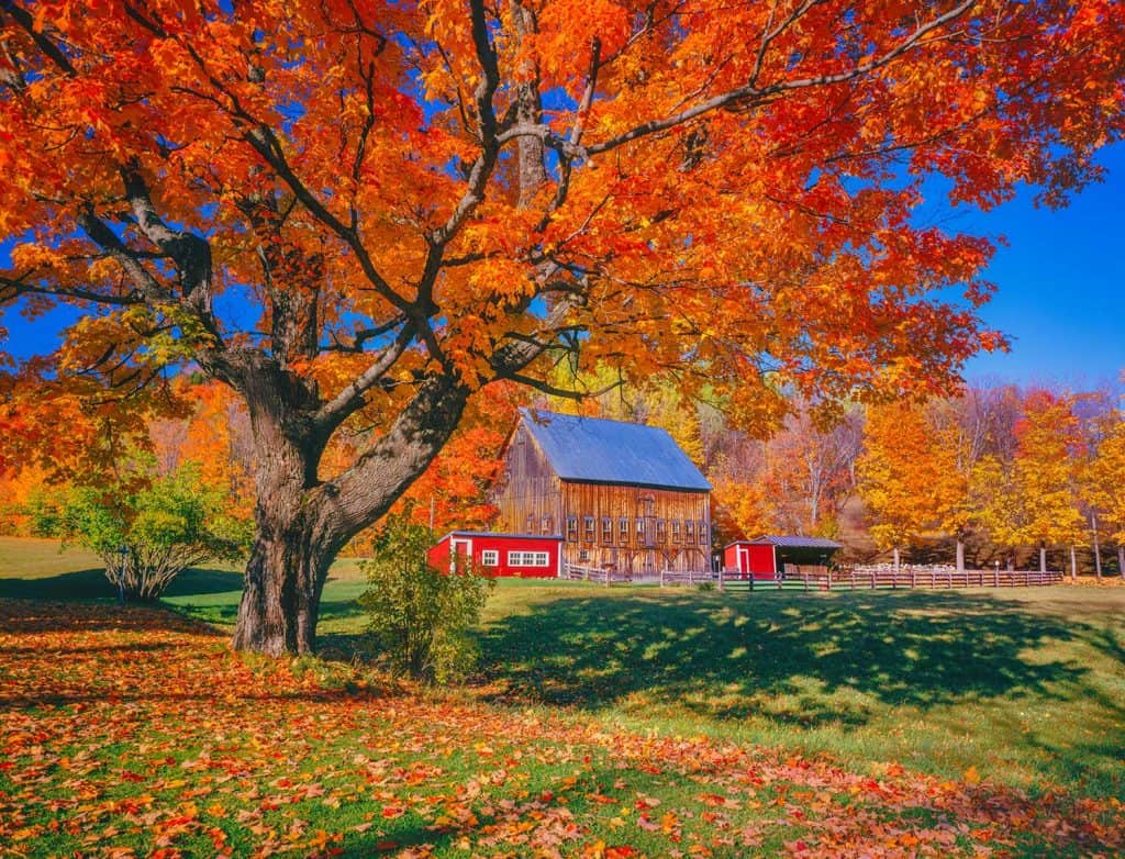Autumn sugar maple with rustic barn
