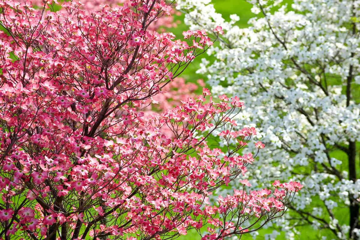 Beautiful Springtime Dogwood Trees With Pink Blossoms