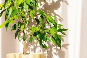 Read more about the article Why Is My Weeping Fig Tree Dying?