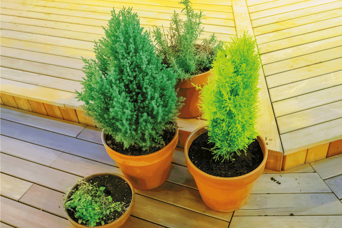 Bright green plants in plastic pots stand on a plank area. How Long Do Arborvitae Live [By Type]