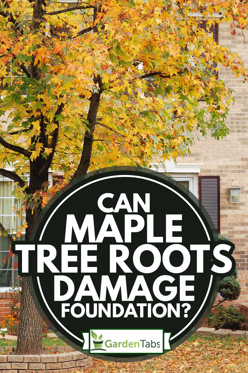 A two story suburban home in autumn with a maple tree in front yard and fallen leaves on lawn, Can Maple Tree Roots Damage Foundation?