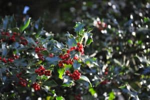 Read more about the article Do Holly Trees Lose Their Leaves?