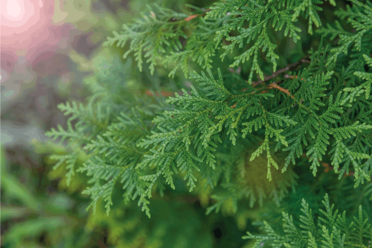 Close up view of beautiful green christmas leaves of Thuja occidentalis tree (also known as white cedar or eastern arborvitae) on green background