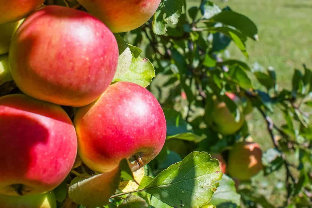 Closeup of McIntosh Apples on a tree branch