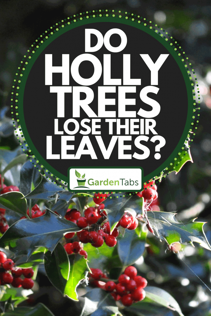 Christmas holly bush with red berries, Do Holly Trees Lose Their Leaves?