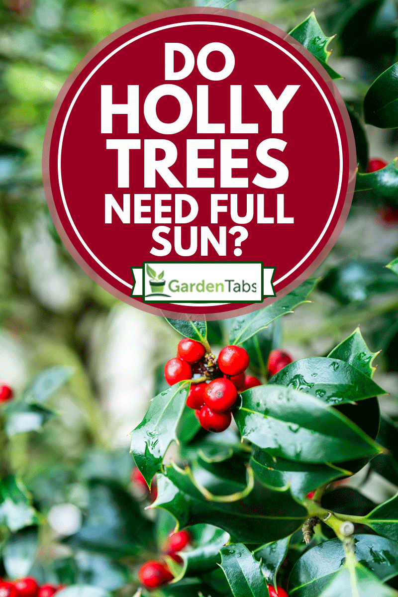 Macro close up color image depicting red berries on the green leaves of a holly busy, Do Holly Trees Need Full Sun?