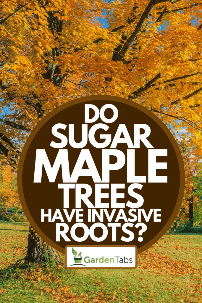 Autumn countryside with majestic sugar maple tree, Do Sugar Maple Trees Have Invasive Roots?