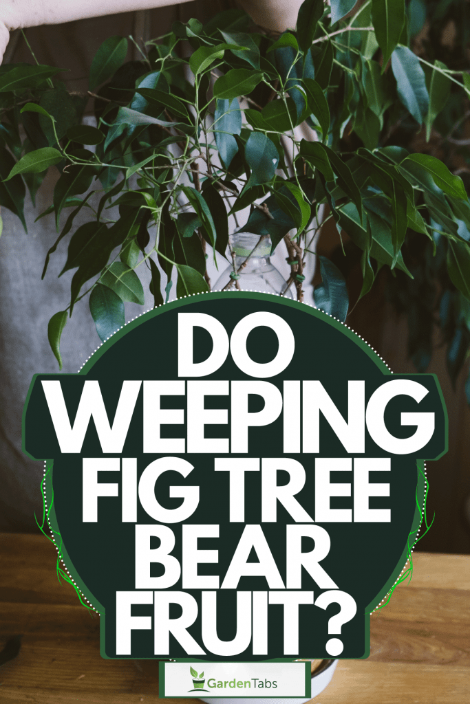 A woman trimming her small weeping fig tree inside her home, Do Weeping Fig Trees Bear Fruit?