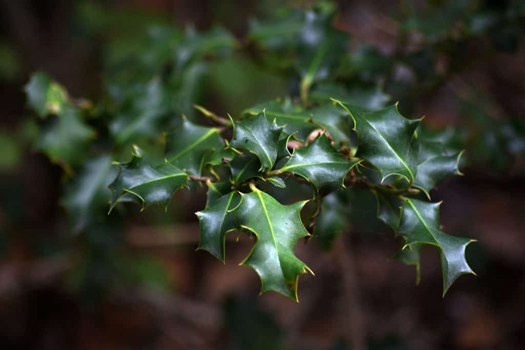 Focus picture of holly leaf