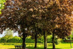 Read more about the article How Hardy Are Maple Trees Are And Which Zones Are They Right For?