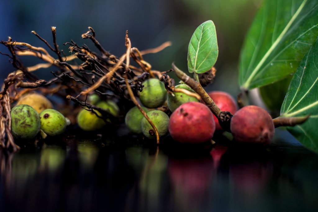 Fruits of a Banyan tree with green and red fruits